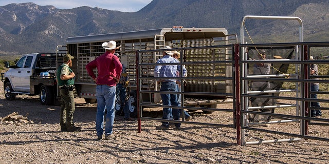 Federal wildlife officials prepare to corral and trap wild horses.