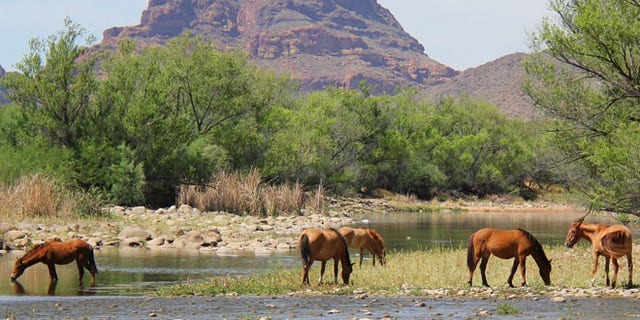 This undated image shows horses grazing in Arizona. (Salt River Wild Horse Management Group)