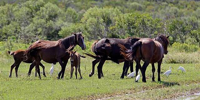 Sept. 14, 2010: Wild horses are seen in a herd in Corolla, N.C.