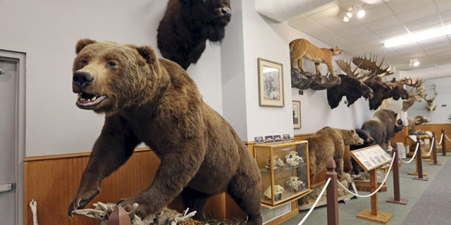 A life-size mount of an Alaskan Brown Bear is among a display of 29 species of North American big game animals at North American bow-hunting club Pope & Young's museum in Chatfield, Minnesota July 31, 2015. The Pope & Young Club, a Minnesota-based bowhunting and conservation organization that includes dentist Walter Palmer among its 8000 members, said it was looking into his hunt which killed a locally famous lion in Zimbabwe, though it focuses only on North American big game. The club said its ethical code calls for fair chase of animals, which does not allow the hunter an unfair advantage, and does not condone violations of that code.  REUTERS/Eric Miller - RTX1MMTI