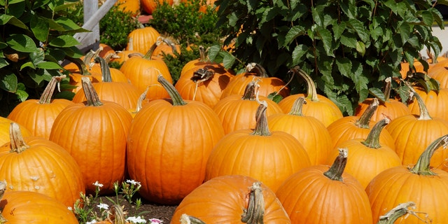 Pumpkins waiting to be picked in a patch
