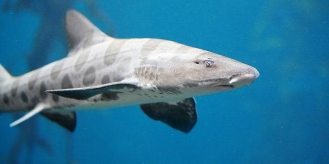 Menacing Leopard Shark