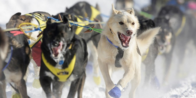 A team competes in the official restart of the Iditarod, a nearly 1,000 mile (1,610 km) sled dog race across the Alaskan wilderness, in Fairbanks, Alaska, U.S. March 6, 2017.  REUTERS/Nathaniel Wilder - RC18B77ECE60
