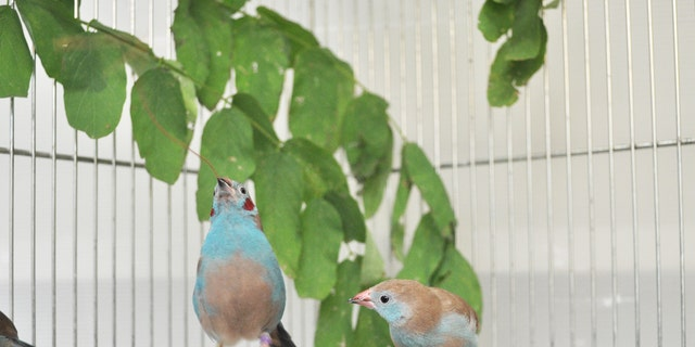 A male red-cheeked cordon-bleu is performing courtship dance. (Nao Ota)