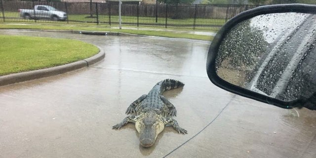 As Hurricane Harvey causes waters to rise, alligators may become displaced.