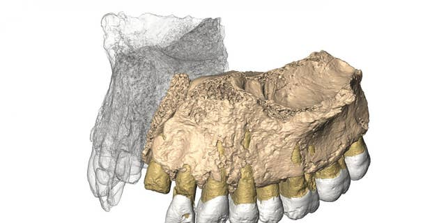 Reconstruced maxilla from microCT images (Gerhard Weber, University of Vienna, Austria)