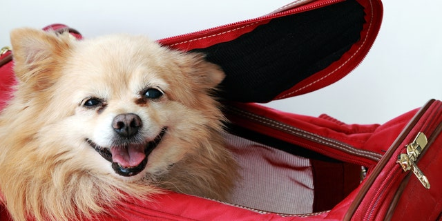 Small pet dog peeking out in air-line approved pet carrier