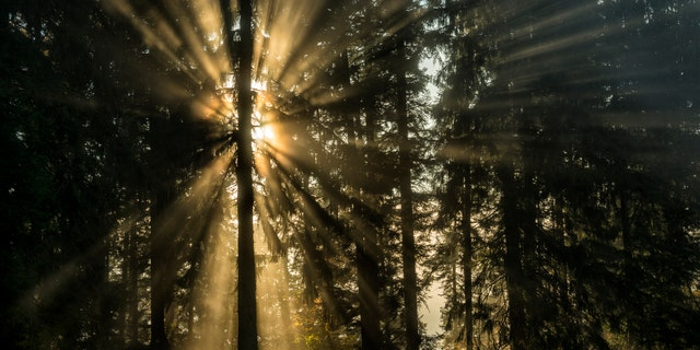 Sunbeams shining through a mixed forest in autumn at evening. Because of a bit fog they are visible.