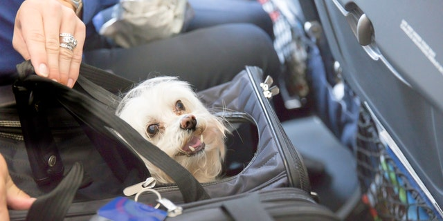 Small dog is sticking his head out of a pet carrier on an airplane.  rm