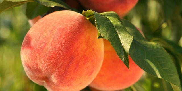 """<strong>Is It Ripe? </strong>""""To pick a perfect peach, obviously you need to pick it off the tree yourself,"""" says Clemson University peach specialist Desmond Layne. But for those of us who pick peaches in supermarkets and not in orchards, he has three simple suggestions: Smell it. Squeeze it. Look at where it's from."""