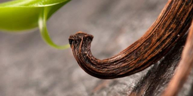 Vanilla Planifolia Vine and Dried Vanilla Pods