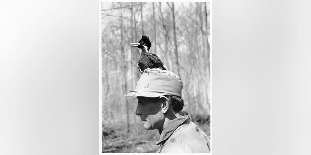 Nestling ivory-billed woodpecker and J.J. Kuhn, March 6, 1938