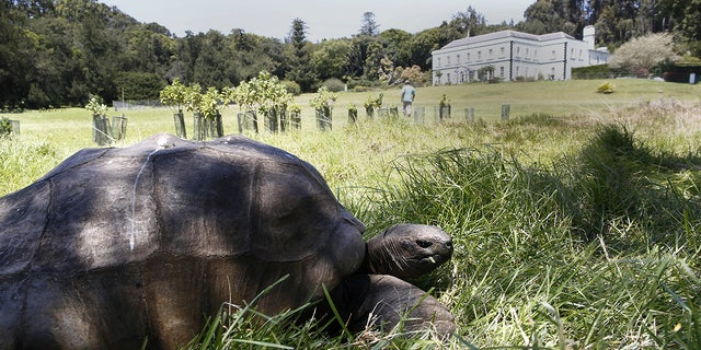 File photo - Jonathan the giant tortoise in the grounds of Plantation House on St. Helena (Photo by Alfred de Montesquiou/Paris Match via Getty Images)  (Alfred DE MONTESQUIOU/PARISMATCH/SCOOP)
