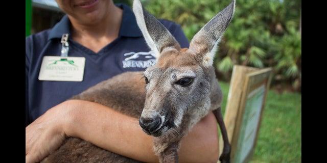 Lilly the Kangaroo in June. (Fox 35)