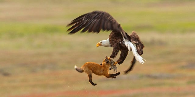 The eagle and the fox put up a fight to have the rabbit.