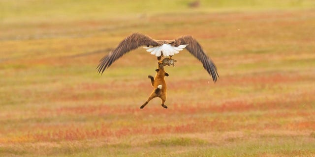 The eagle was able to take the rabbit and dropped the fox on the ground.