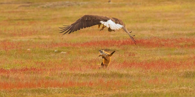 The fox survived the encounter and appeared unscathed, except for the lost meal.