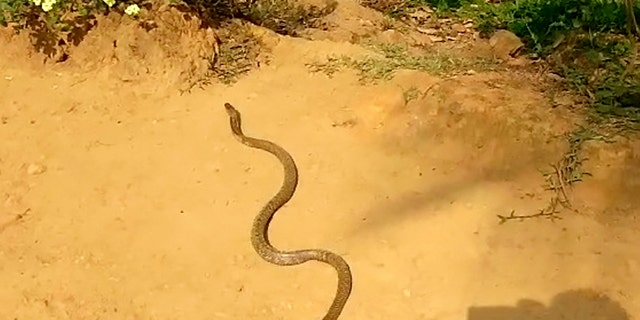 Video grab of a snake regurgitating seven eggs.  See SWNS story SWCOBRA.  Sujith VP was called to remove the snake in Kerala, India  after it attacked a henhouse in someone's farm and then proceeded to swallow eight eggs. The cobra was later filmed throwing up seven of those eight eggs.