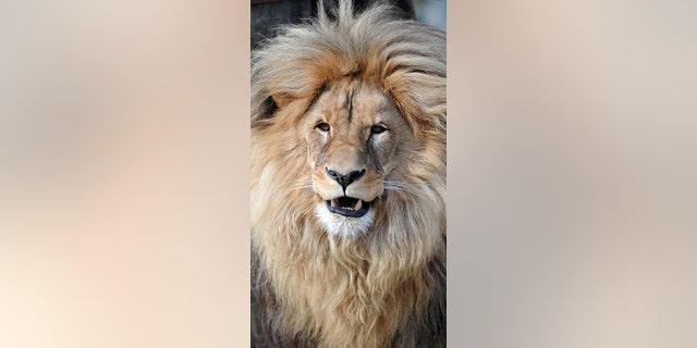 Leon the lion at Usti nad Labem Zoo, Czech Republic.