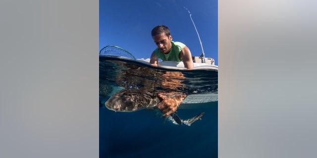 Andrew Nosal releasing a leopard shark.