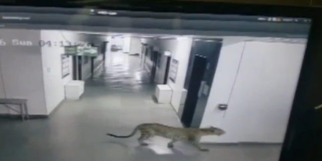 The leopard caught prowling around a school.