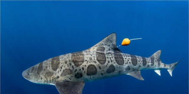 This is a shark with a reusable tagging apparatus. (Kyle McBurnie)