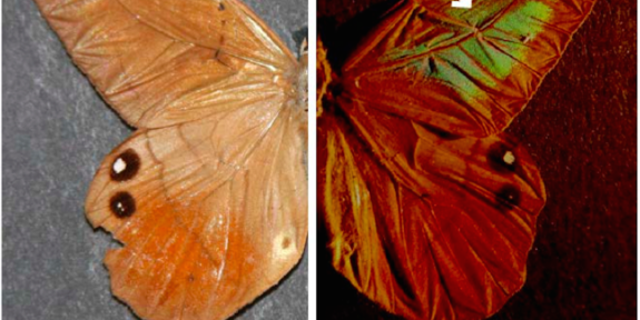 The butterfly Pierella luna appears to change color because of the microstructure of its wings, which feature slightly curved scales.