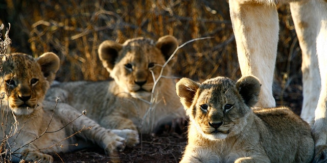 The Bubye Valley Conservancy has more than 500 lions.