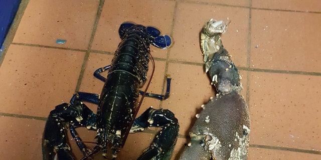 The 8-inch long lobster claw next to a regular-sized lobster (Shaun Krijnen)