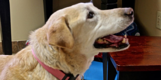 A yellow Labrador was rescued by a surprised hunter after she retrieved a downed bird and returned it to him.