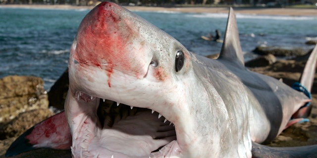 A group of fishermen caught a mako shark, like the one pictured above, off the coast of Florida in early April.