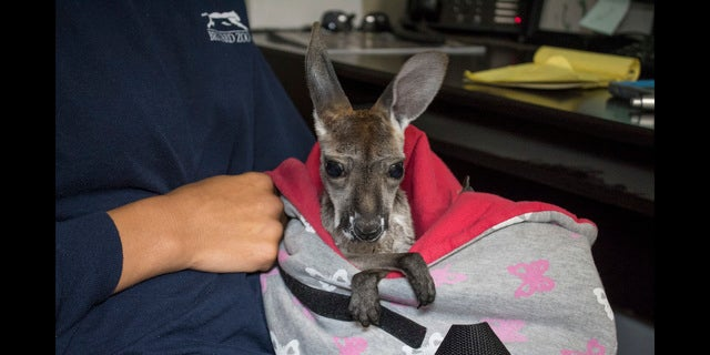 Lilly the kangaroo at 2 months old.