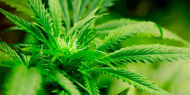 A marijuana plant flourishing under grow lights at a warehouse in Denver.