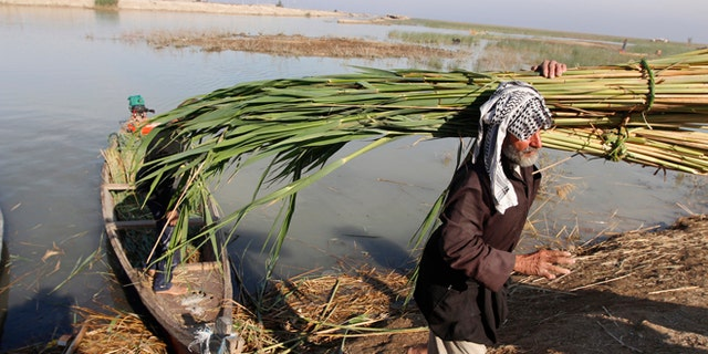 An Iraqi Marsh Arab collects reeds at the Chebayesh marsh in Nassiriya, 300 km (185 miles) southeast of Baghdad.