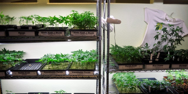 Oct. 29, 2009: This file photo shows trays of marijuana clones and gardening supplies underneath grow lights at the Peace in Medicine dispensary in Sebastopol, Calif.