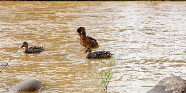 Ducks wade in the Animas River as orange sludge from a mine spill upstream flows past Berg Park in Farmington, N.M., Saturday, Aug. 8, 2015. About 1 million gallons of wastewater from Colorado's Gold King Mine began spilling into the Animas River on Wednesday when a cleanup crew supervised by the Environmental Protection Agency accidentally breached a debris dam that had formed inside the mine. The mine has been inactive since 1923( Alexa Rogals/The Daily Times via AP)
