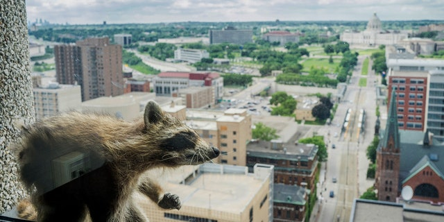A raccoon climbed up the UBS Building on Tuesday.