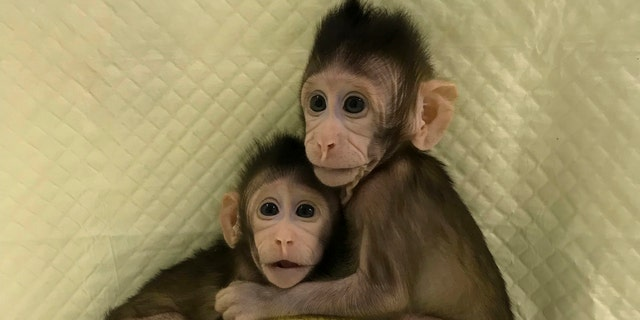 In this undated photo provided by the Chinese Academy of Sciences, cloned monkeys Zhong Zhong and Hua Hua sit together with a fabric toy. For the first time, researchers have used the cloning method that produced Dolly the sheep to create two healthy monkeys, potentially bringing scientists closer to being able to do that with humans