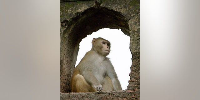 File photo - A monkey takes cover from the rain inside the Nehru park in the old quarters of Delhi July 27, 2006. (REUTERS/Desmond Boylan)