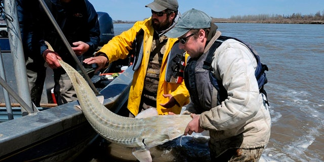 FILE - In this 2014 file photo, from left, Montana Fish, Wildlife and Parks employees Dave Fuller, Chris Wesolek, and Matt Rugg release a pallid sturgeon after taking blood samples from the fish in Montana. A judge on Wednesday, July 5, 2017, blocked a proposed $59 million irrigation dam because of the potential threat to the ancient fish species in the Yellowstone River. (James Woodcock/The Billings Gazette via AP, File)
