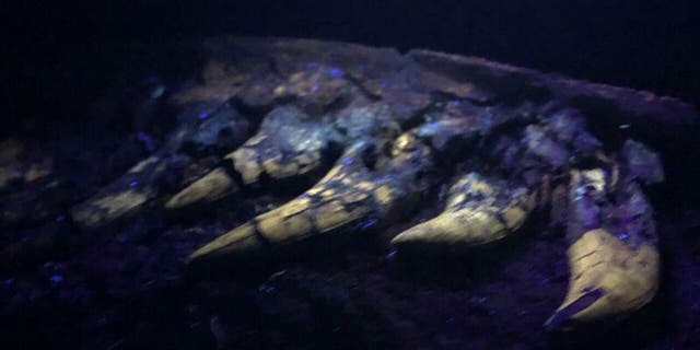 University of Kansas researchers found the fossil glowed under a black light