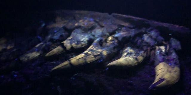 University of Kansas researchers found the fossil glowed under a black light