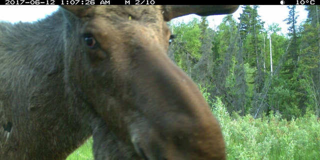 This 2017 photo from a U.S. Fish and Wildlife Service motion-activated camera shows a moose at the Yukon Flats National Wildlife Refuge in Alaska. Motion-detecting wildlife cameras are yielding serious science as well as amusing photos. From ocelots in the desert to snow-loving lynx high in the Northern Rockies, remote cameras are exposing elusive creatures like never before. (U.S. Fish and Wildlife Service via AP)