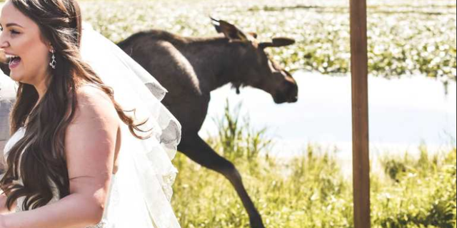 Bria Celest snapped a photo of bride Shandalyn Brown as she was photobombed by a moose on her wedding day.