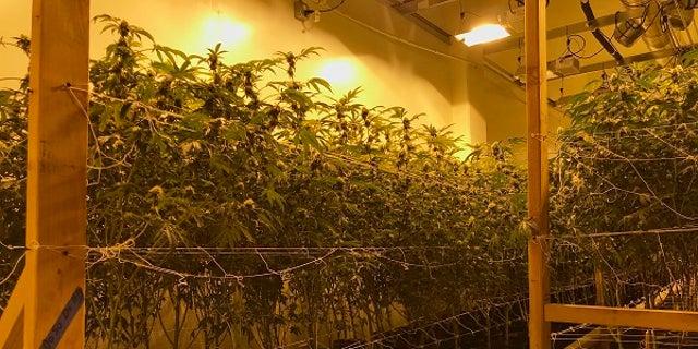 Police found marijuana plants in three properties owned by Stephanie Smith.