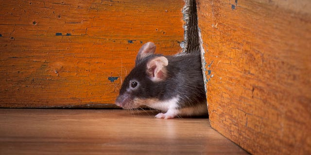 Police claim that State would free mice and hamsters in his room at various hotels, complain about the pesky critters and then enjoy the room at no cost.