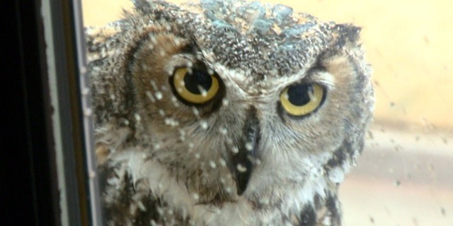 """Great horned owl known as """"Mrs. Tiger"""" in Oklahoma City. (KFOR-TV)"""
