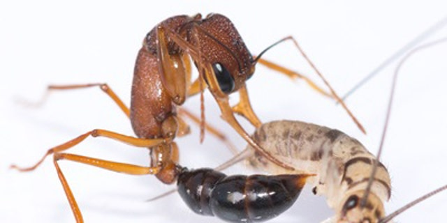This image shows a Harpegnathos saltator worker ant in the process of stinging a cricket to paralyze it and drag it into the nest as part of its hunting duties. (Credit: Brigitte Baella)