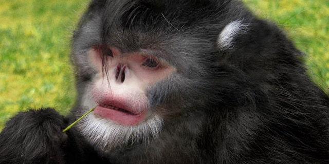 Photoshop reconstruction of the snub-nosed monkey. (Credit: Dr Thomas Geissmann/Fauna & Flora International)