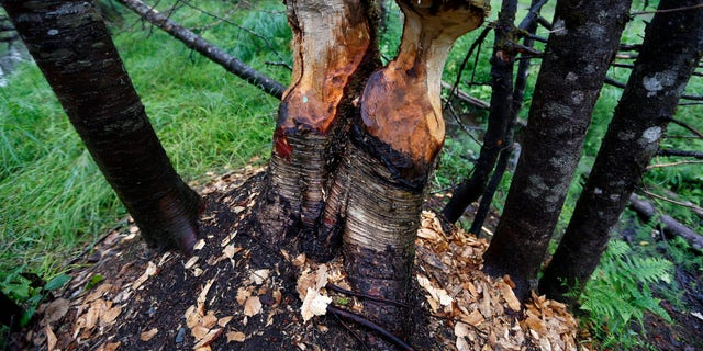 Aug. 4, 2015: Birch trees show signs of beaver activity on woodland proposed for a national park in Penobscot County, Maine.
